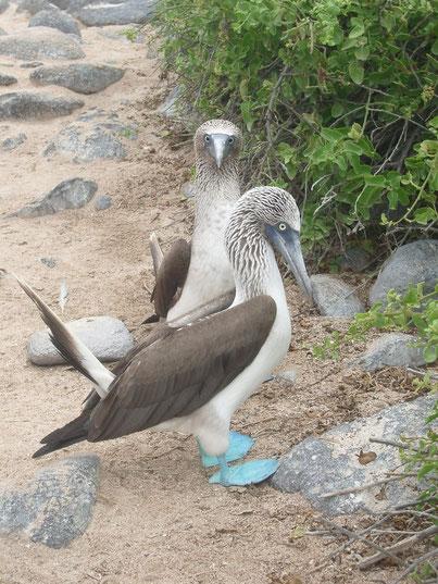 Der Star der Galápagos Tiere: der Blaufusstölpel - Piquero Pata Azul