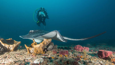 Southern stingray and diver, Tofo