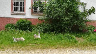 Leben auf dem Hof, Leben mit Tieren, Gänse auf dem Hof