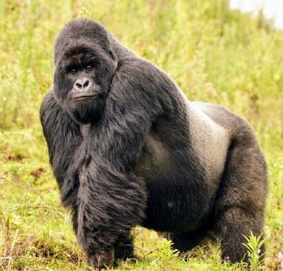 туры к гориллам в Уганде