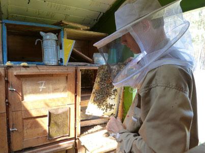 Der leckere Frühtrachthonig wird hier direkt aus den Waben entnommen. Der Imker trägt dazu einen Schutzanzug, auch Bienenanzug genannt. Die Bienen werden von den Waben abgefegt, später werden die Waben geschleudert.