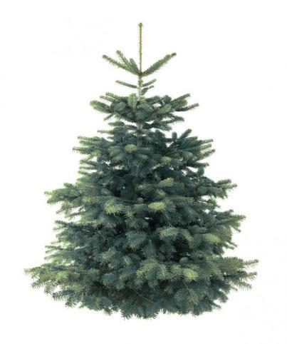 Abies nobilis zum Aufpflanzen von Weihnachtsbaum