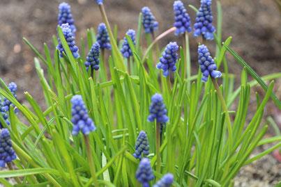 Blaue Traubenhyazinthe - Muscariblüte im Frühjahr.