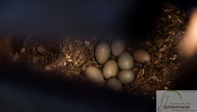 Hoopoe eggs in the woodbox