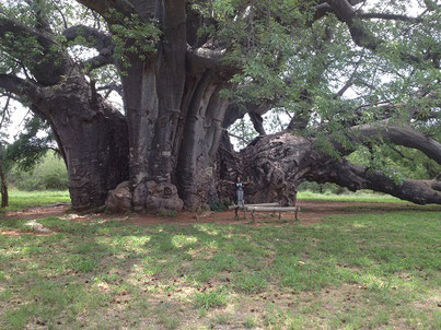 世界で二番目に横幅の大きいバオバブから作られた