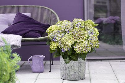 ©Magical Hydrangea - Hortensia Jewel® coloris bleu - nouvelle variété d'hortensia de jardin (2021)