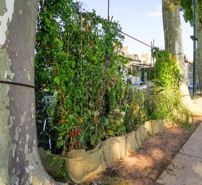 ©JAVOY PLANTES - plantes grimpantes grands sujets pour des créations paysagères