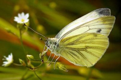 Schmetterlinge (Lepidoptera)