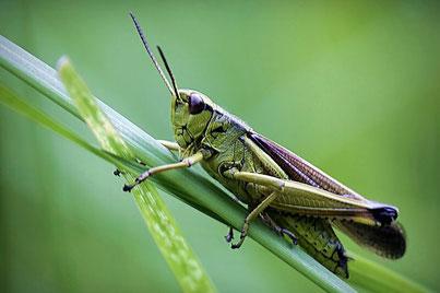 Heuschrecken (Orthoptera)