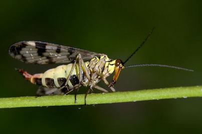 Schnabelfliegen (Mecoptera)