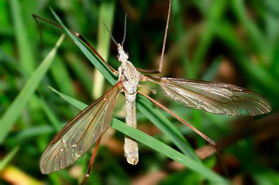 Mücken (Nematocera)