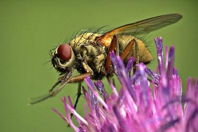 Fliegen (Brachycera)