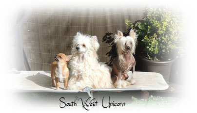 chihuahua et chinese crested powderpuff and hairless