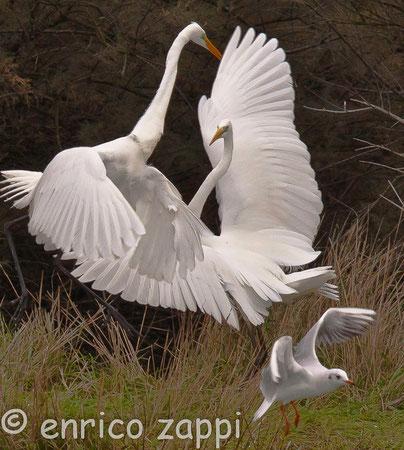 Il maschio, molto territoriale, difende la propria postazione eseguendo posture di minaccia tramite il rigonfiamento del piumaggio, alternando anche brevi voli circolari e attacchi col becco.