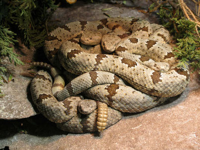 Klapperschlangen