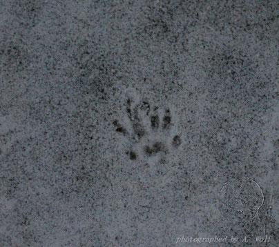 Rattenfußabdruck im Schnee - 22.01.13