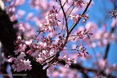 ひとつだけ早い枝垂れがあるのです。とてもきれいなピンク色。