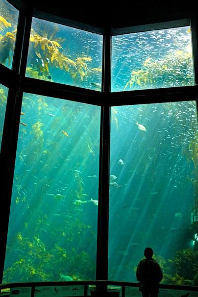 Algenwald Monterey Bay Aquarium Kalifornien