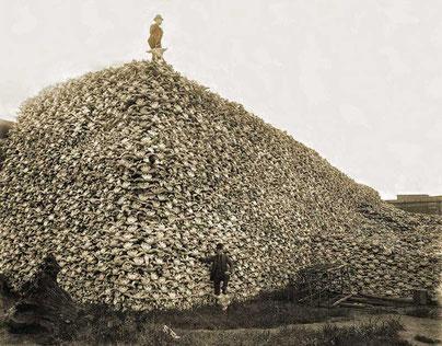 Berg aus Büffelschädel 1870