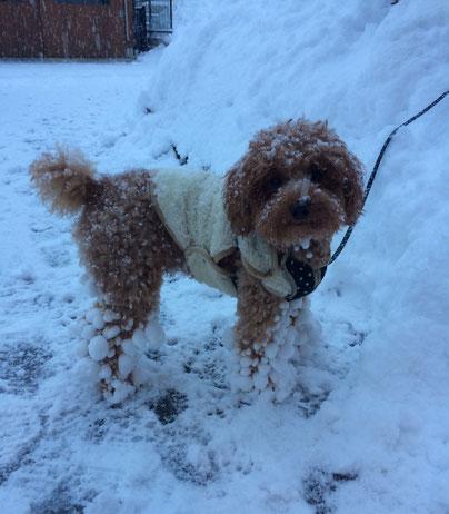 友達の犬、チョコです。人間は雪かきでへとへとですが…わんこは雪が大好きです!