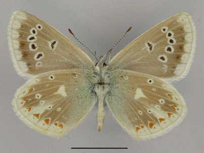 Wundklee-Bläuling Polyommatus dorylas in Sachsen Tagfalter Pollrich