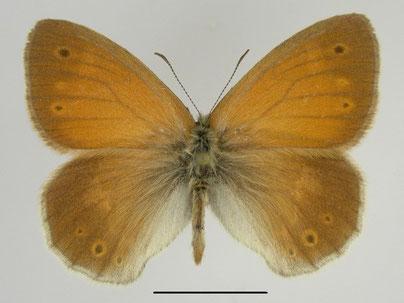 Großes Wiesenvögelchen Coenonympha tullia in Sachsen Tagfalter Pollrich