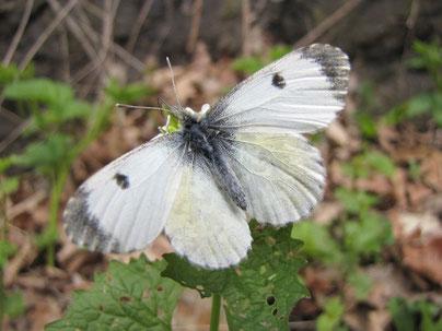 Anthocharis cardamines (Weibchen). - Frankenberg, NSG Zschopauhänge bei Lichtenwalde, nahe Harrasfelsen 19.04.2009 - F. Herrmann