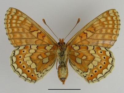 Goldener Scheckenfalter Euphydryas aurinia in Sachsen Tagfalter Pollrich
