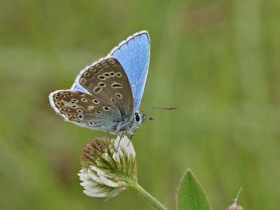 Himmelblauer Bläuling Polyommatus bellargus in Sachsen Tagfalter Pollrich
