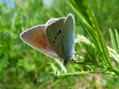 Glaucopsyche alexis (Weibchen). - Tschechische Republik, Nordböhmen, Duppauer Gebirge, Burberg 10.05.2014 - F. Herrmann