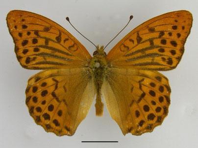 Kaisermantel Argynnis paphia in Sachsen Tagfalter Pollrich