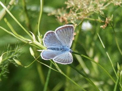 Prächtiger Bläuling Polyommatus amandus in Sachsen Tagfalter Pollrich