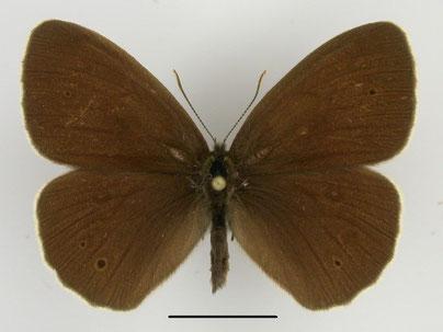 Schornsteinfeger Aphantopus hyperantus in Sachsen Tagfalter Pollrich