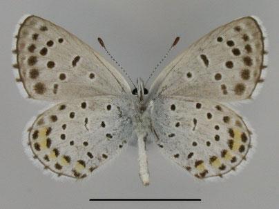 Östlicher Quendel-Bläuling Pseudophilotes vicrama in Sachsen Tagfalter Pollrich