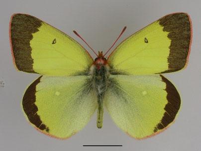 Männchen/ Oberseite