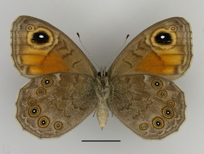 Braunauge Lasiommata maera in Sachsen Tagfalter Pollrich