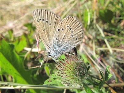 Polyommatus semiargus bei der Eiablage. - Oberwiesenthal, Fichtelberggebiet nahe Zechengrund 11.07.2010 - F. Herrmann