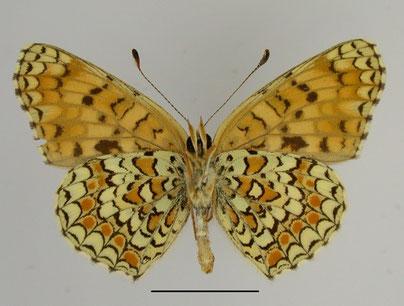 Flockenblumen-Scheckenfalter Melitea phoebe in Sachsen Tagfalter Pollrich