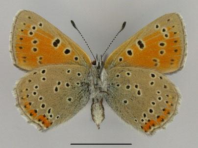 Lilagold-Feuerfalter Lycaena hippothoae in Sachsen Tagfalter Pollrich
