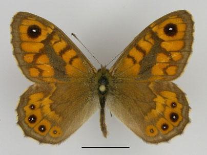 Mauerfuchs Lasiommata megera in Sachsen Tagfalter Pollrich