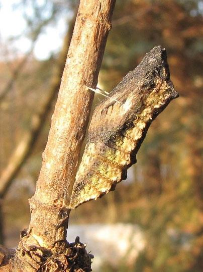 Puppe von Papilio machaon. - Puppe am 25.01.2009 (gezüchtet), Raupe gefunden am 06.09.2008 in Chemnitz, Kleingartenanlage am Kappler Hang an Dill (Schlupf: 02.05.2009) - F. Herrmann