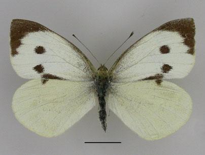 Kroßer Kohlweißling, Pieris brassicae, in Sachsen, Tagfalter Pollrich