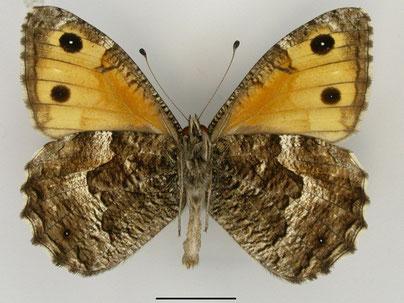 Ockerbindiger Samtfalter Hipparchia semele in Sachsen Tagfalter Pollrich