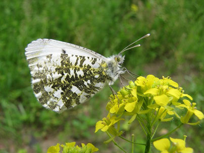 Anthocharis cardamines (Weibchen). - Frankenberg, NSG Zschopauhänge bei Lichtenwalde, nahe Harrasfelsen 14.06.2010 - F. Herrmann