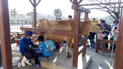 牛の乳搾り体験(成田ゆめ牧場)