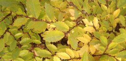 Herbstlaub einer Japanische Ulme / Ulmus japonica