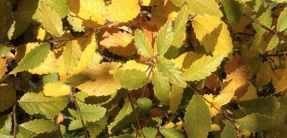 Herbstlaub  einer Feldulme, Ulmus carpinifolia
