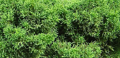Chinesischer Wacholder, Juniperus chinensis