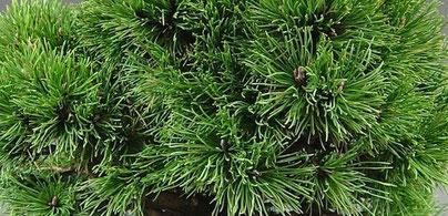 Nadeln einer Kiefer Pinus