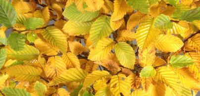 Herbstlaub von einer Hainbuche, Carpinus betulus